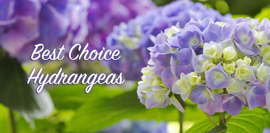 Best Choice Hydrangeas