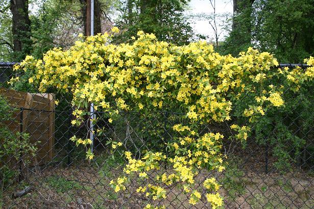 Pictorial guide to spring in tallahassee tallahassee nurseries carolina jessamine tallahassee mightylinksfo Choice Image