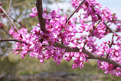 Pictorial guide to spring in tallahassee tallahassee nurseries redbud tallahassee 1 mightylinksfo