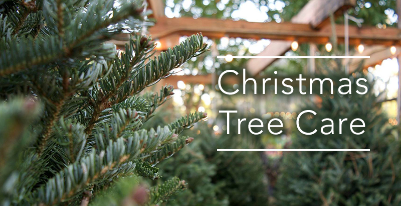 How to Care for Your Fraser Fir Christmas Tree - How To Care For Your Fraser Fir Christmas Tree - Tallahassee Nurseries