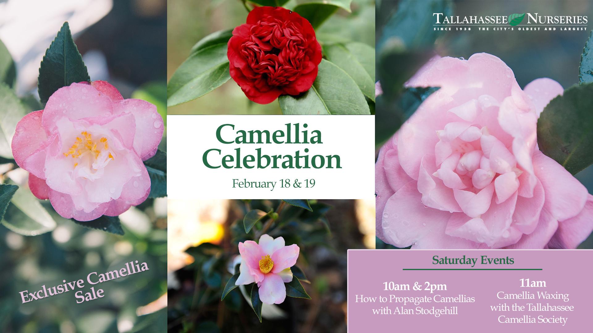 Camellia Celebration Sale Tallahassee Nurseries