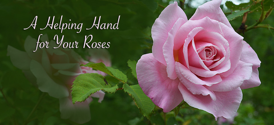 A Helping Hand for Your Roses - Tallahassee Nurseries