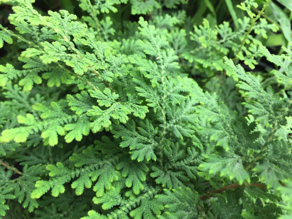 Arborvitae Fern