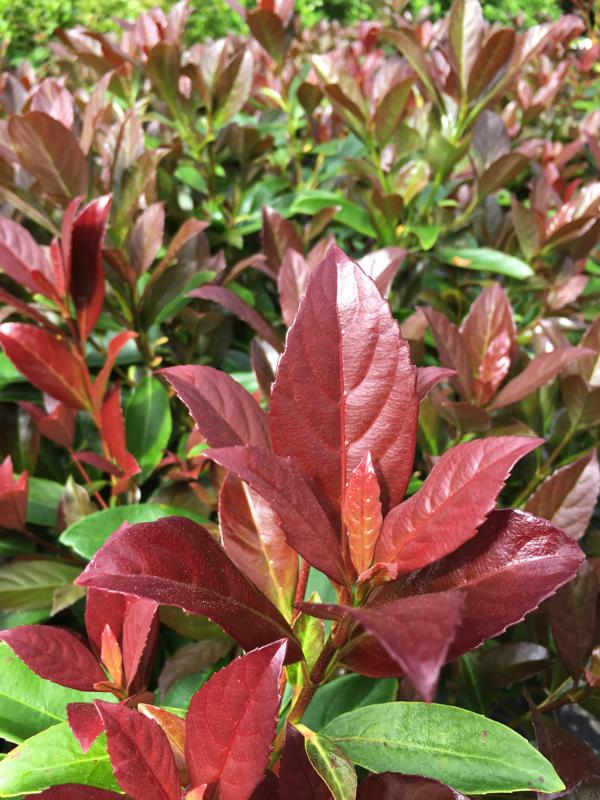 Coppertop Sweet Viburnum