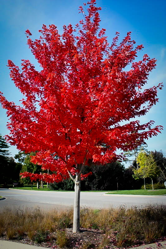 Florida Flame Maple