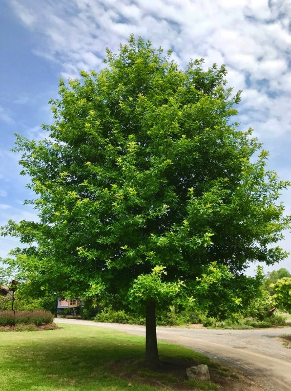 Nuttal Oak