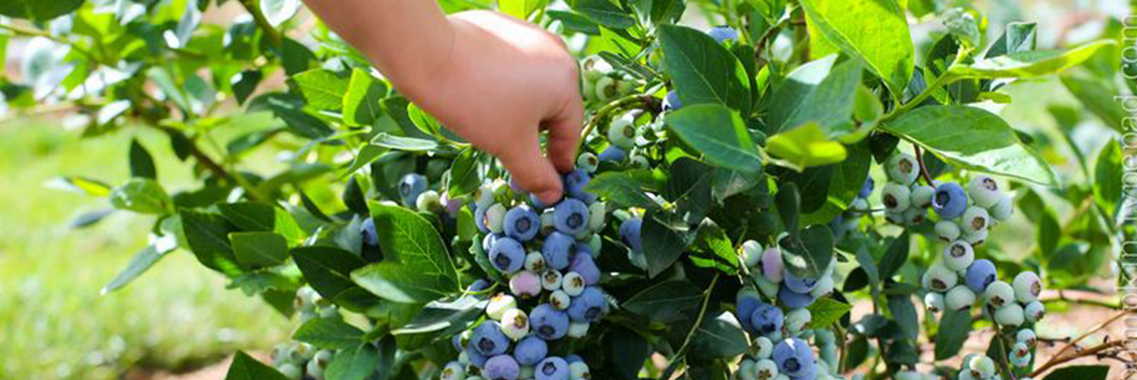 blueberries-tallahassee