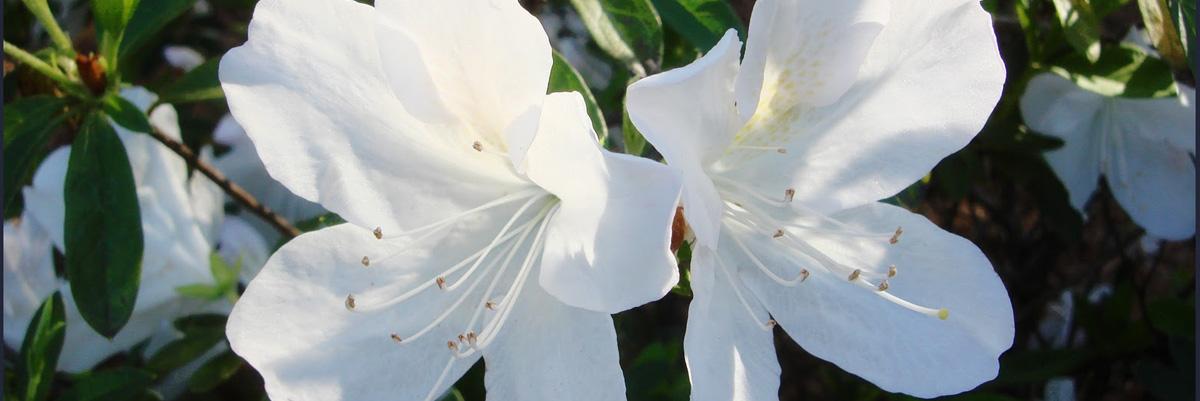 gg-gerbing-azalea-tallahassee