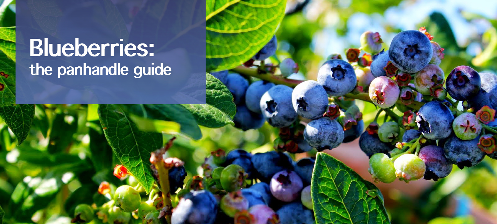 Blueberries: The Panhandle Guide