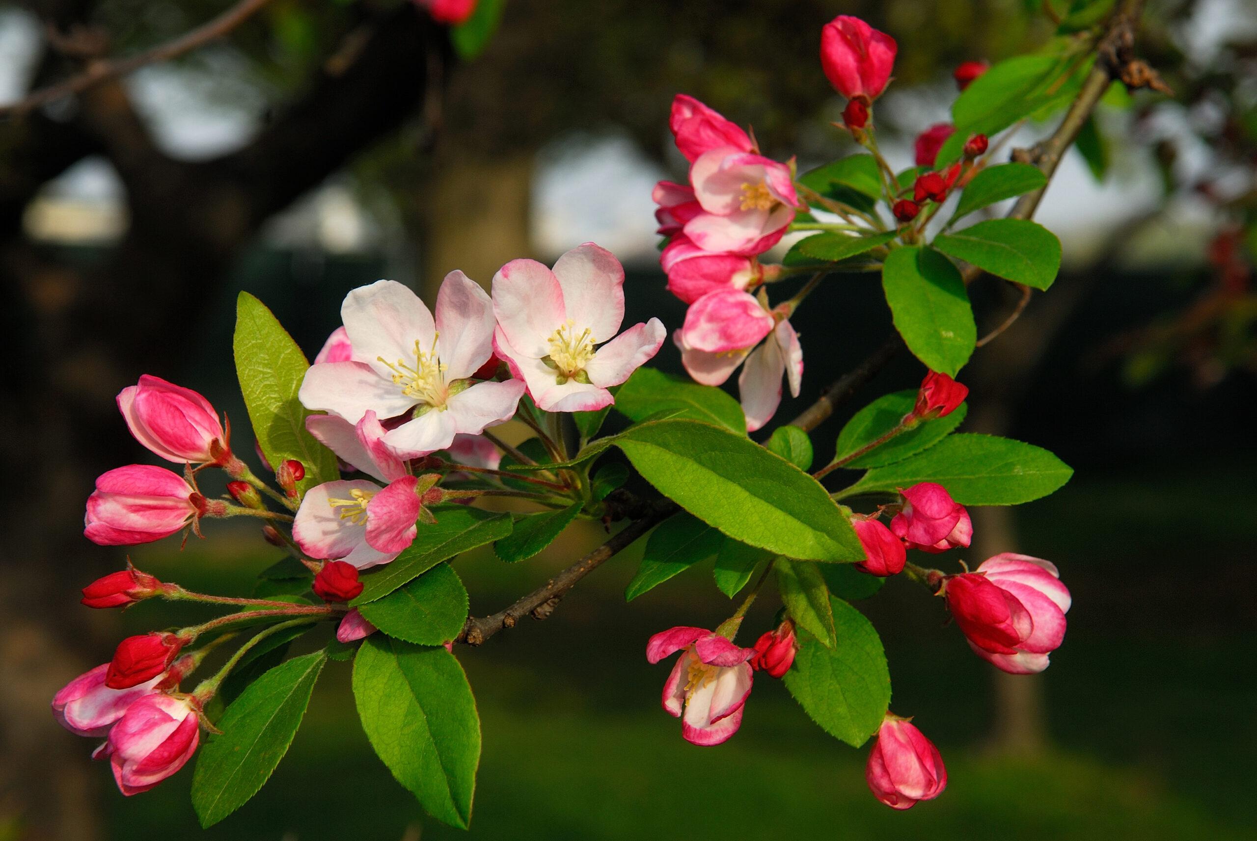 Crabapple Tree Blooming