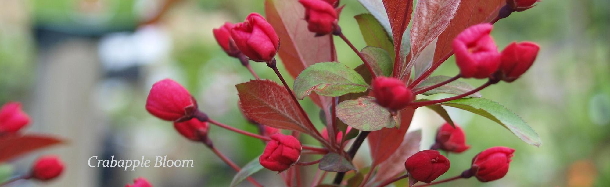 crabapple-tallahassee-bloom