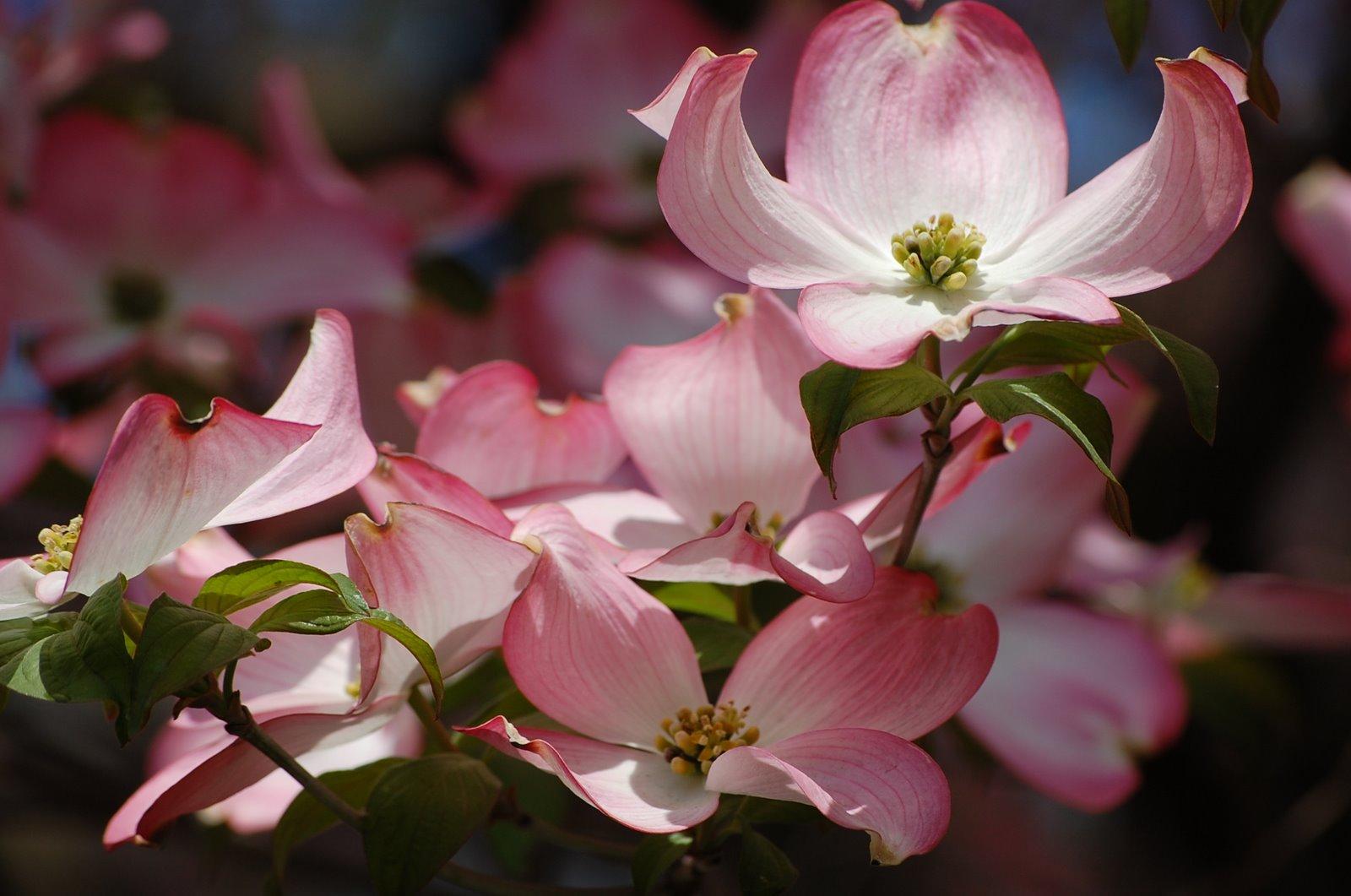 dogwood-flower1