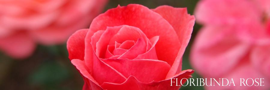 floribunda-roses-tallahassee