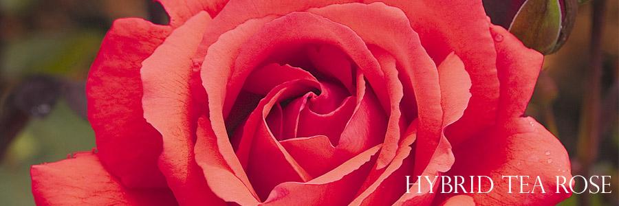 hybrid-tea-roses-tallahassee