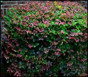 lorapetalum-hedge-tallahassee