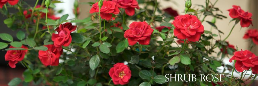 shrub-roses-tallahassee